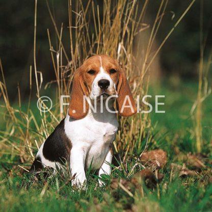Beagle - 09/2019