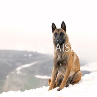 Belgian Shepherd Malinois - 12/2019