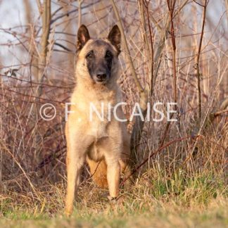 Belgian Shepherd Malinois - 02/2019