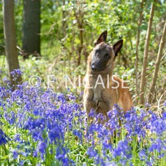 Belgian Shepherd Malinois - 04/2019