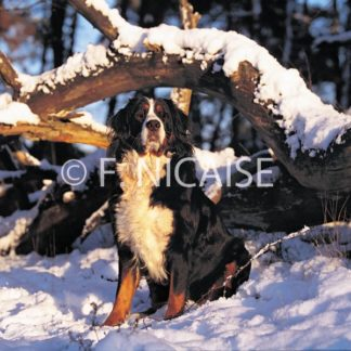 Bernese Mountain Dog - 01/2019