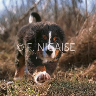 Bernese Mountain Dog - 10/2019