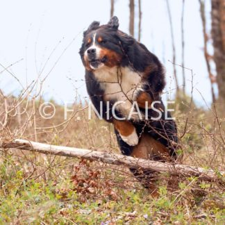 Bernese Mountain Dog - 11/2019