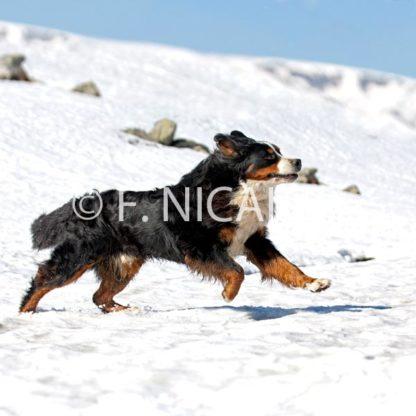 Bernese Mountain Dog - 12/2019