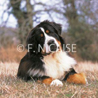 Bernese Mountain Dog - 02/2019