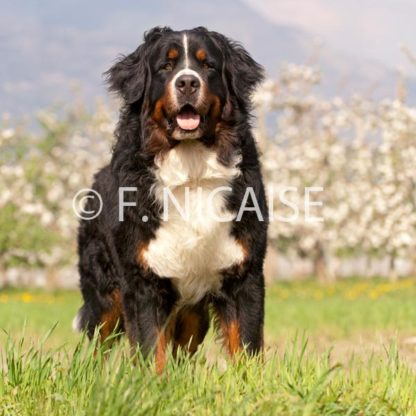 Bernese Mountain Dog - 04/2019