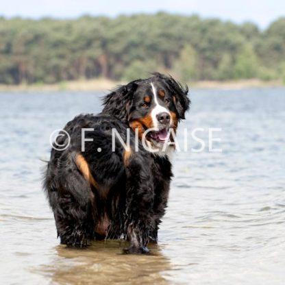 Bernese Mountain Dog - 05/2019