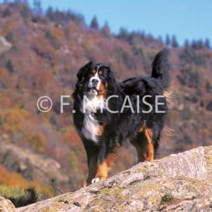 Bernese Mountain Dog - 07/2019