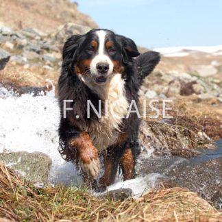 Bernese Mountain Dog - 08/2019