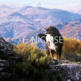 Bernese Mountain Dog - 09/2019