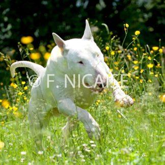 Bull Terrier - 05/2019
