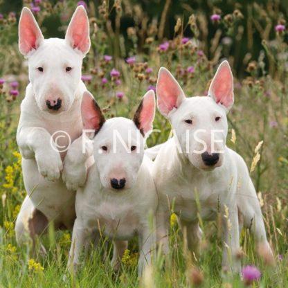 Bull Terrier - 06/2019