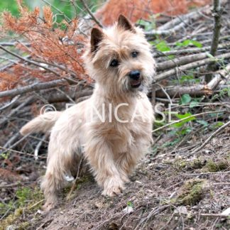 Cairn Terrier - 01/2019
