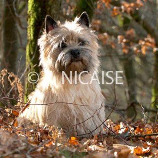 Cairn Terrier - 12/2019