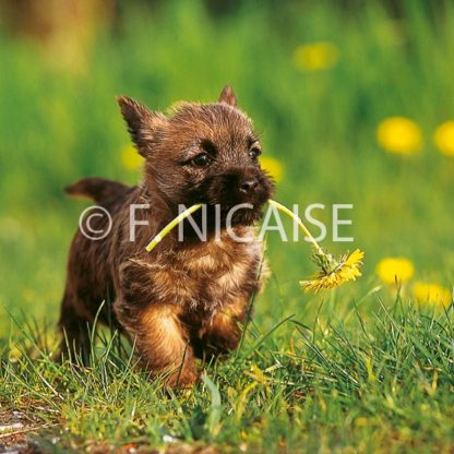 Cairn Terrier - 04/2019