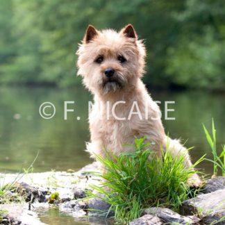 Cairn Terrier - 07/2019