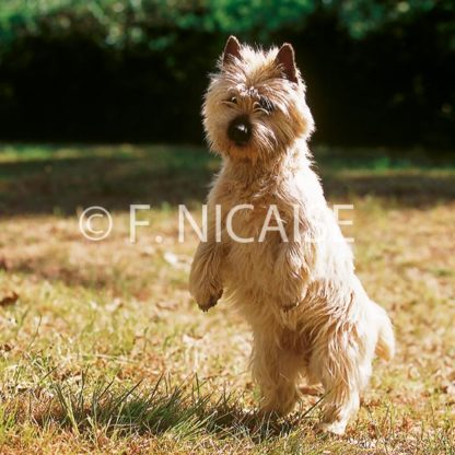 Cairn Terrier - 08/2019