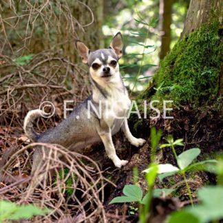 Chihuahua - 10/2019