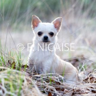 Chihuahua - 03/2019