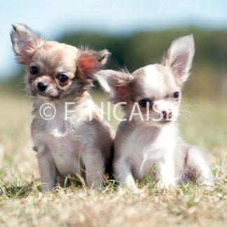 Chihuahua - 08/2019