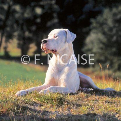 Dogo Argentino - 10/2019