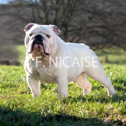 English Bulldog - 10/2019
