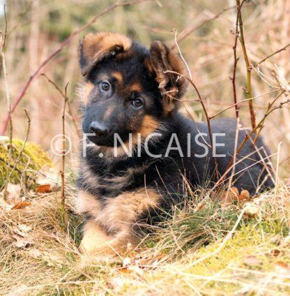 German Shepherd - 11/2019