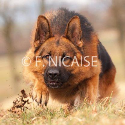 German Shepherd - 02/2019
