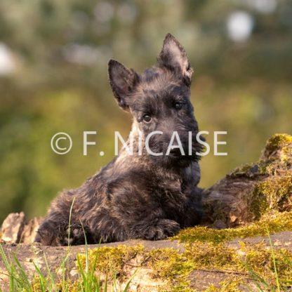 Scottish Terrier - 01/2019