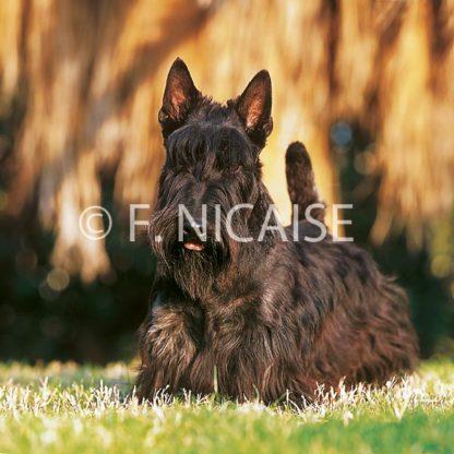 Scottish Terrier - 10/2019