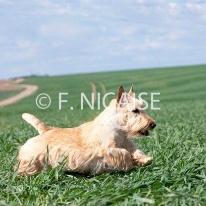 Scottish Terrier - 11/2019