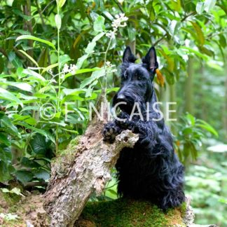 Scottish Terrier - 12/2019