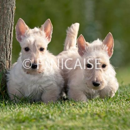 Scottish Terrier - 02/2019