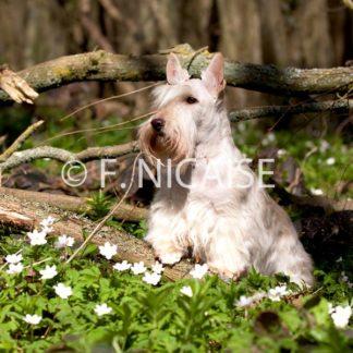 Scottish Terrier - 04/2019