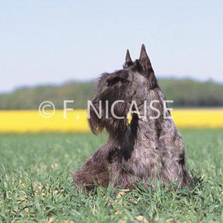 Scottish Terrier - 05/2019