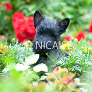 Scottish Terrier - 06/2019