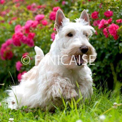 Scottish Terrier - 08/2019