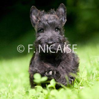 Scottish Terrier - 09/2019