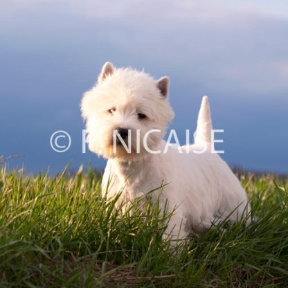 West Highland White Terrier - 01/2019