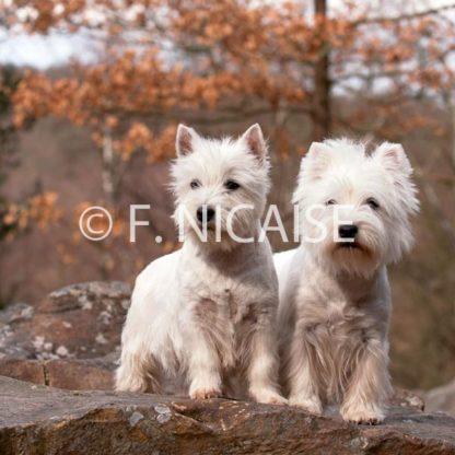West Highland White Terrier - 10/2019
