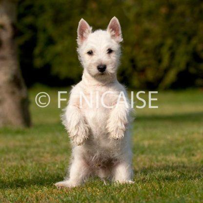 West Highland White Terrier - 11/2019