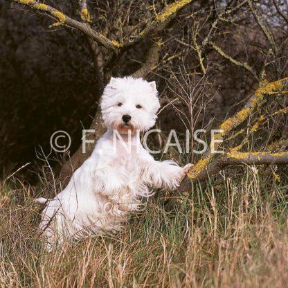 West Highland White Terrier - 12/2019