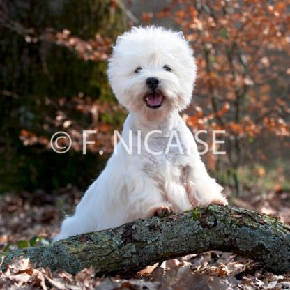 West Highland White Terrier - 02/2019