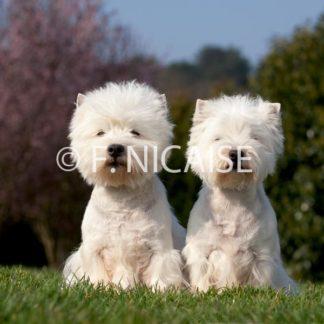 West Highland White Terrier - 03/2019