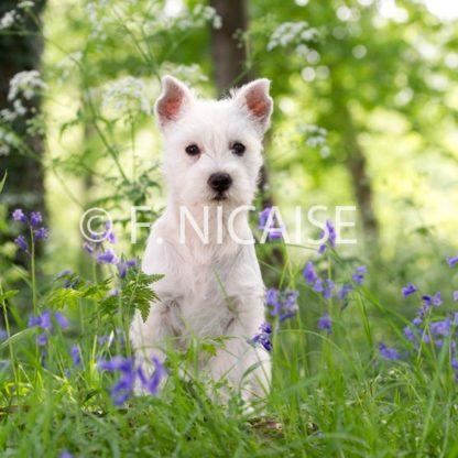 West Highland White Terrier - 04/2019