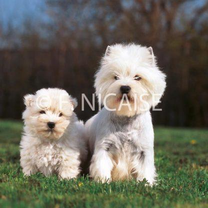 West Highland White Terrier - 05/2019