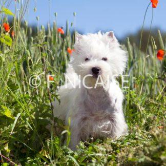West Highland White Terrier - 06/2019