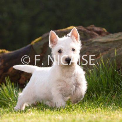 West Highland White Terrier - 07/2019