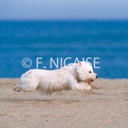 West Highland White Terrier - 08/2019
