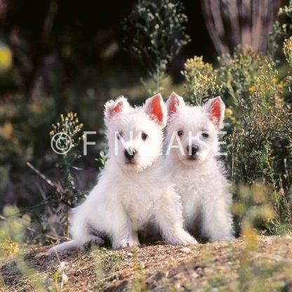 West Highland White Terrier - 09/2019